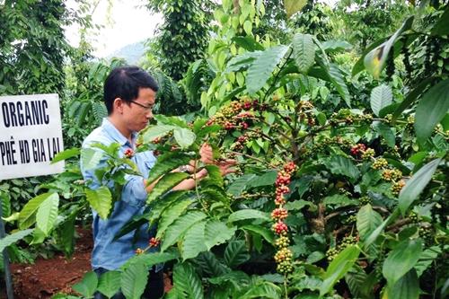 Thu tiền tỷ từ vườn tiêu xen cà phê hữu cơ