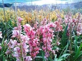 Thu 2 tỷ đồng mỗi năm từ một hecta hoa Lâm Đồng